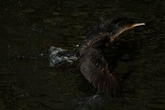 Cormorão - nada bem e os mergulhos, plumagem não são pássaro impermeável, bonito Foto de Stock