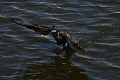 Cormorão - nada bem e os mergulhos, plumagem não são pássaro impermeável, bonito Fotografia de Stock Royalty Free