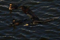 Cormorão - nada bem e os mergulhos, plumagem não são pássaro impermeável, bonito Imagem de Stock