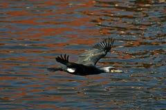 Cormorão - nada bem e os mergulhos, plumagem não são pássaro impermeável, bonito Imagem de Stock Royalty Free