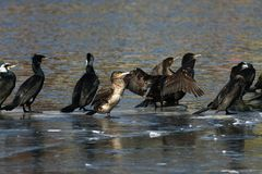 Cormorão - nada bem e os mergulhos, plumagem não são pássaro impermeável, bonito Fotografia de Stock