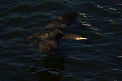 Cormorão - nada bem e os mergulhos, plumagem não são pássaro impermeável, bonito Foto de Stock Royalty Free