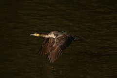 Cormorão - nada bem e os mergulhos, plumagem não são pássaro impermeável, bonito Imagens de Stock