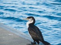 Cormorão no porto Fotos de Stock Royalty Free