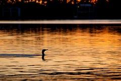 Cormorão preto no rio Torrens, Adelaide Imagens de Stock