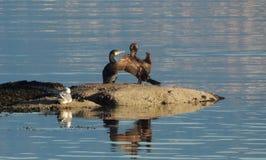 Cormorão que abre suas asas empoleiradas em uma rocha ao lado de outras e de uma gaivota fotografia de stock