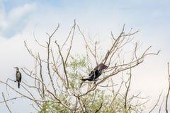 Cormorão que está no ramo de árvore inoperante, Kerkini Imagem de Stock
