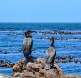 Cormorões brancos-breasted Foto de Stock Royalty Free