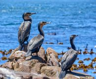 Cormorões brancos-breasted Fotografia de Stock Royalty Free