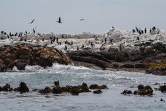 Cormorões e pinguins africanos no tintureiro Island Fotografia de Stock Royalty Free