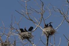 Cormor?es em seus ninhos nas ?rvores desencapadas de uma ?rvore inoperante imagem de stock