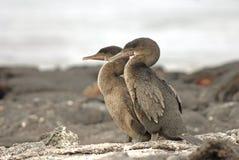 Cormorões Flightless, Ilhas Galápagos, Equador Fotografia de Stock