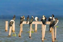 Cormorões, lago Naivasha Fotografia de Stock