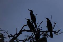 Cormorões na árvore, mostrada em silhueta contra o céu obscuro azul imagem de stock