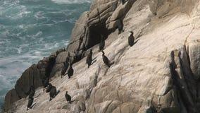 cormorões nas rochas Westcoast, Califórnia, Estados Unidos filme