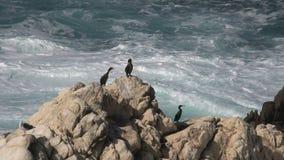 cormorões nas rochas Westcoast, Califórnia, Estados Unidos video estoque