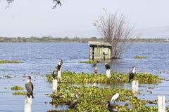 Cormorões no lago Naivasha, Kenya Fotos de Stock Royalty Free