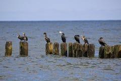 Cormorões pretos pelo mar Imagem de Stock Royalty Free