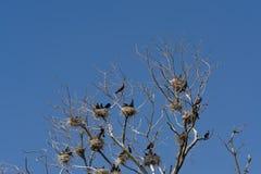 Cormor?es em seus ninhos nas ?rvores desencapadas de uma ?rvore inoperante fotos de stock royalty free