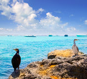 Cormoran鸟在formentera在La Savina附近晃动 免版税库存图片