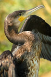 Cormoran. Friendly cormoran bird in Danube Delta, Romania Stock Images