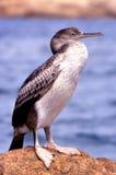 cormoran Royaltyfria Foton
