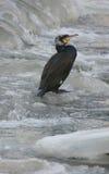 cormoran Image libre de droits