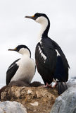 Cormoran aux yeux bleus antarctique Photo libre de droits
