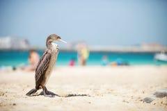 Cormoran bird resting on sunny beach Stock Photo