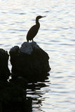 Cormoran bird Royalty Free Stock Photography