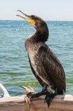 Большой портрет Cormoran (carbo Phalacrocorax) Стоковое Изображение RF