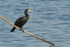 Cormoran/Cormorant Fotografia Stock Libera da Diritti