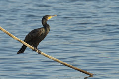 Cormoran / Cormorant Royalty Free Stock Photo