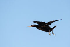 Cormoran de cap (capensis de phalacrocorax) Photos stock