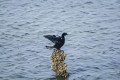 Cormoran de Javanese sur des roches dans l'eau photographie stock libre de droits