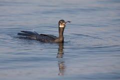 Cormoran de Reed flottant sur l'eau tandis que poissons d'hirondelle Photos libres de droits