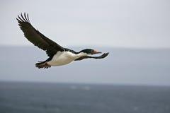 Cormoran de roi, albiventer d'atriceps de Phalacrocorax Photos libres de droits