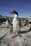 Cormoran de roi, albiventer d'atriceps de Phalacrocorax Photographie stock