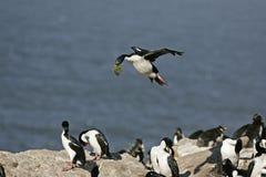 Cormoran de roi, albiventer d'atriceps de Phalacrocorax Photo libre de droits