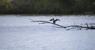 Cormoran på en trädfilial i floden Arkivbild
