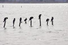 cormoran sul palo di legno superiore nel lago di massaciuccoli Fotografia Stock