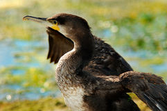 Cormoran2. Friendly cormoran bird in Danube Delta, Romania Stock Image