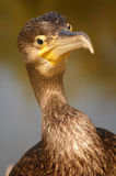Cormoran3. Friendly cormoran bird in Danube Delta, Romania Stock Photos
