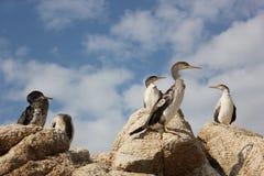 Cormoranes Fotografía de archivo