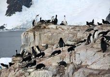 Cormoranes co habiting con los pingüinos del gentoo Fotos de archivo libres de regalías