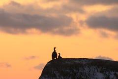 Cormoranes de Lofoten Fotografía de archivo