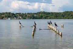 Cormoranes de Neotropic en un embarcadero - Flores, Peten, Guatemala Foto de archivo