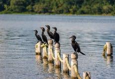 Cormoranes de Neotropic en un embarcadero - Flores, Peten, Guatemala Imagenes de archivo
