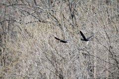 Cormoranes del vuelo Fotografía de archivo