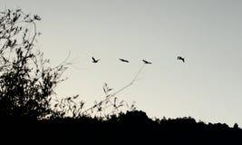 Cormoranes del vuelo en la sombra Imagenes de archivo
